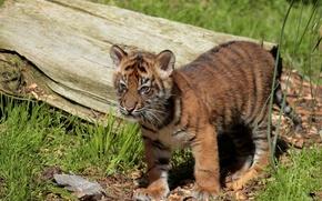 Picture log, cub, tiger