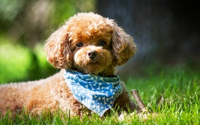 Picture summer, grass, look, Dog, muzzle, shawl, Poodle