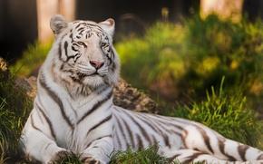 Picture cat, tiger, predator, white tiger