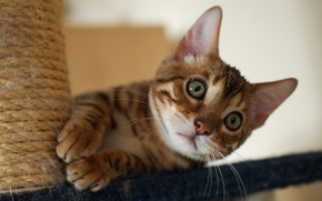 Picture cat, cat, kitty, Bengal