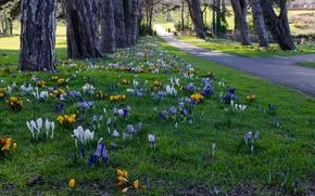 Wallpaper flowers, Dublin, Park, Ireland, crocuses, trees, Cabinteely Park, alley, grass, track