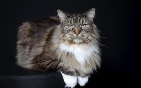 Picture background, Ottoman, Purebred cat
