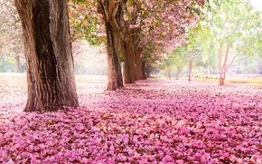 Picture trees, flowers, nature, Park, Sakura, pink, flowering