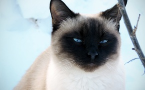 Picture winter, cat, look, snow, handsome, Siamese