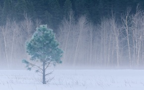 Picture winter, forest, snow, trees, fog, glade, CA, USA, USA, Yosemite, forest, trees, California, winter, snow, …