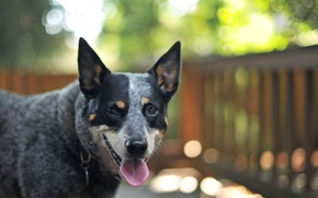 Picture look, each, dog, bokeh, Australian Cattle Dog
