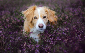 Picture field, look, flowers, nature, animal, dog, lavender, dog