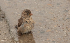 Picture bird, puddle, Sparrow