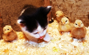 Picture language, chickens, Kitty, sawdust