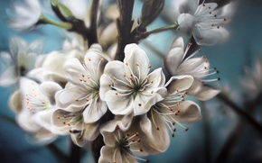 Picture nature, white, flowers, painting, Apple, flowering, twigs