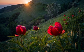 Picture the sun, rays, light, flowers, spring, slope, Bulgaria, wild peonies