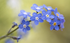 Wallpaper bokeh, macro, Forget-me-nots