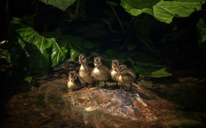 Picture leaves, water, ducklings, five