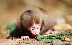 Picture foliage, wool, muzzle, monkey, fingers, little, monkey
