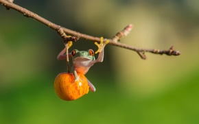 Picture Apple, frog, red eye tree frog