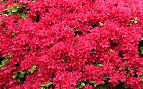 Picture flowering, rhododendron, Azalea