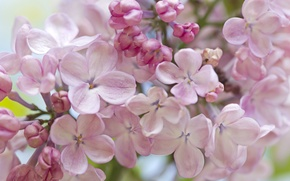 Wallpaper tenderness, macro, lilac, spring