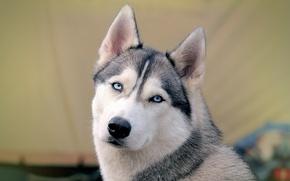 Picture background, dog, Siberian husk