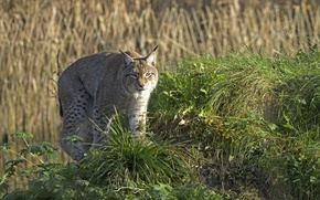Picture cat, grass, hill, lynx