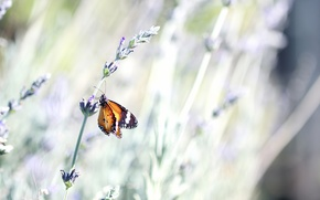 Picture macro, nature, lavender, flower, bokeh, insect, stem, summer, butterfly