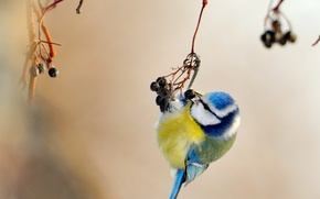Picture yellow, blue, bird, tit