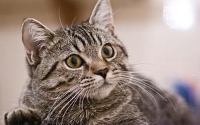 Picture cat, look, portrait, attention