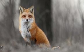 Picture winter, forest, animals, grass, Fox, Fox