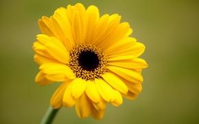 Picture flower, yellow, green, background, petals, gerbera