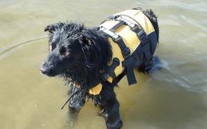 Picture Dog, wet, border collie, lifejacket