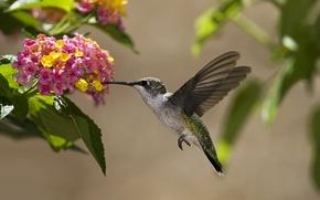 Wallpaper leaves, flowers, nectar, bird, Hummingbird, Sunny