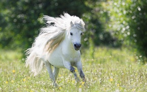 Picture running, pony, dandelions, Beautiful, White, Wallpaper, Widescreen, Background, Pony, Field, Fullscreen, Running, Small Horse