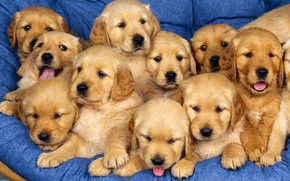 Wallpaper together, puppies, Small