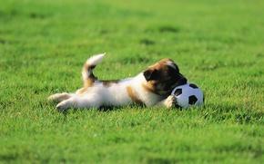 Picture wallpaper, sport, dog, football, ball