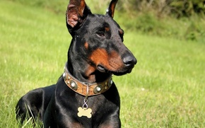 Picture grass, Doberman, 1920x1080, doberman, pinscher