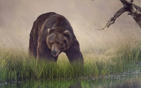 Picture grass, water, reflection, bear, drink, brown
