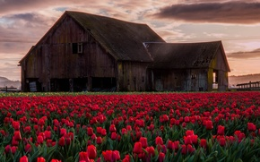 Picture flowers, house, tulips
