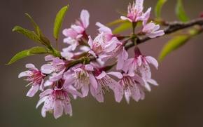 Picture leaves, flowers, branch, Sakura, pink