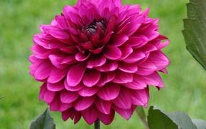 Picture greens, flower, summer, Flowers, petals, stem, Dahlia, purple-red