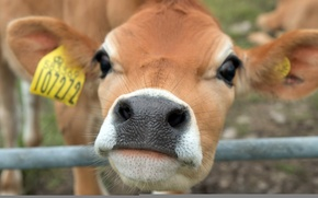 Picture face, background, cow