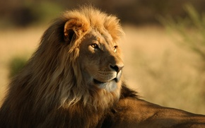 Wallpaper animals, lions, Africa, Savannah, wild cats, lions, africa, wild cats