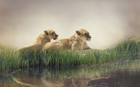 Picture water, nature, fog, pond, reflection, the reeds, predators, lions, lie, rest