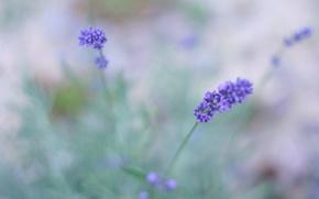 Picture flowers, macro, blur, field, Lavender, lilac, lavender