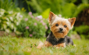 Picture look, dog, York, Yorkshire Terrier