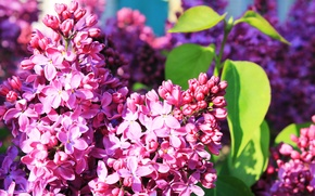 Picture spring, may, aroma, lilac blossoms