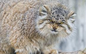 Picture cat, look, fluffy, evil, manul, ©Tambako The Jaguar