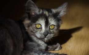 Picture cat, fluffy, cat