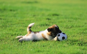Picture grass, lawn, dog, puppy, the ball, plays