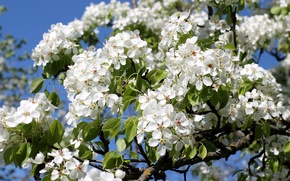Picture branches, tree, spring, pear, flowering