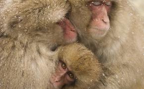 Picture winter, wildlife, family, snowing, snow monkeys