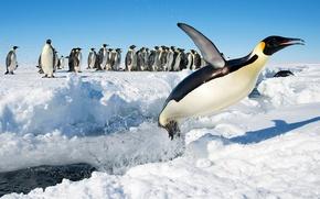 Picture snow, birds, jump, penguins, Antarctica, Emperor penguin